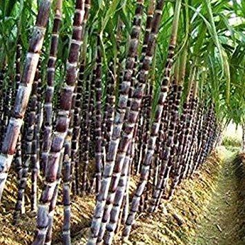 (200 Seeds Sugar Cane Seeds Rum Syrup Rock Candy Sugar Crystals 6-18 Feet Tall)