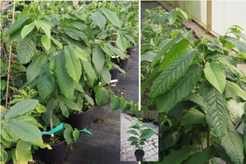 Asimina triloba Sunflower - Indianerbanane Paupau (engl. Paw Paw) Obstpflanze