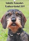 Geliebte Rabauken - Rauhaardackel (Wandkalender 2019 DIN A4 hoch): Terminplaner mit 12 tollen Bildern des Rauhaardackels (Planer, 14 Seiten ) (CALVENDO Tiere)