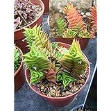 Haworthia Viscosa * Crassula succulent * Very Rare * Collectors Cactus * 5 Seeds