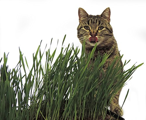 Non-GMO, Thunder Acres Premium Wheat Seed, Cat Grass Seed, Wheatgrass, Hard Red Winter Wheat (2 lbs.) by Thunder Acres (Image #1)