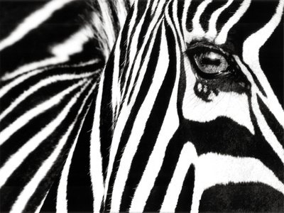 Black   White Ii  Zebra  Art Poster Print By Rocco Sette  32X24