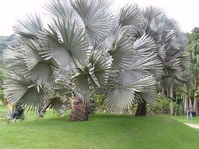 1 Tree Plant Bismarckia Nobilis Seedling Palm Tree Live Tropical Fresh