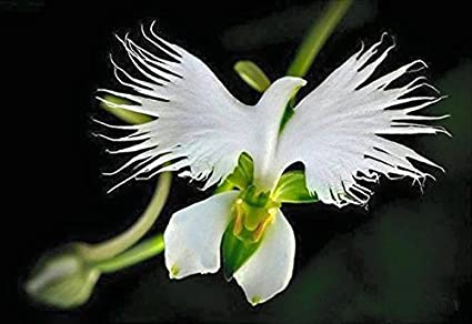 Image result for Dove Orchid
