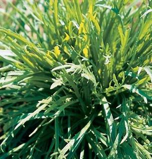 hazzards-seeds-minutina-erba-stella-5000-seeds