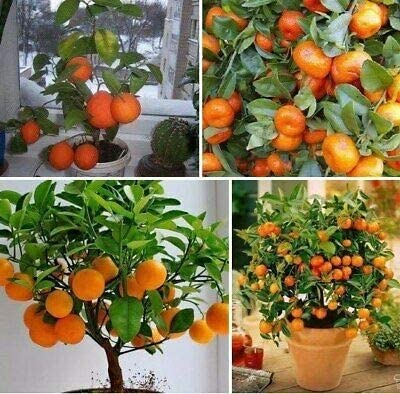 Seeds Bulbs Fj Co 20pcs Orange Tree Seeds Garden Indoor Balcony Potted Bonsai Dwarf Fruit Garden Patio Breadcrumbs Ie