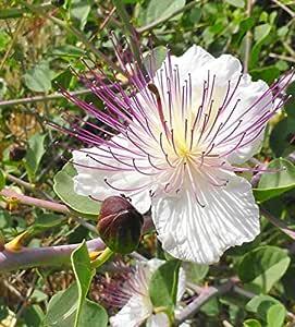 AGROBITS Hierbas - alcaparra Capparis Spinosa - - 20 semillas # 1782