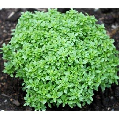 Spicy Globe Basil - 25 Seeds : Garden & Outdoor