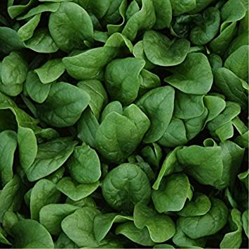 Orgánica Espinacas Geant D hiver (spinacia oleracea L.) vegetal de
