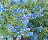 250 Bulk Seeds VIPER'S BUGLOSS BLUE BEDDER DWARF Echium Plantagineum