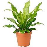 "American Plant Exchange Birds Nest Fern Japanese Live Plant, 6"" Pot, Indoor/Outdoor Air Purifier"