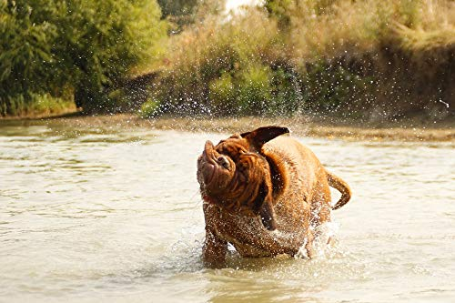 Home Comforts Peel-n-Stick Poster of Bathing De Dog Muddy Lake Water Bordeaux Dogue Vivid Imagery Poster 24 x 16 Adhesive Sticker Poster - De Bordeaux Dogue Sticker