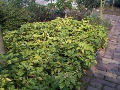 Classy Groundcovers - Pachysandra terminalis {50 Bare Root Plants} by Classy Groundcovers (Image #8)