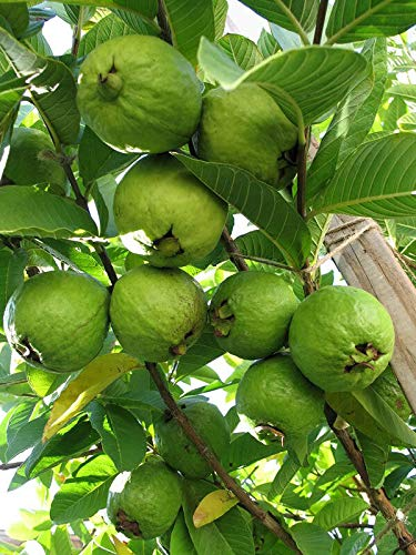 Guava Live Plant Tropical Fruit Plant Fit 1 Gallon Pot