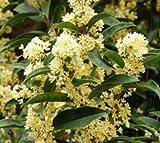 Fudingzhu Fragrant Tea Olive ( Osmanthus ) - Trade gallon
