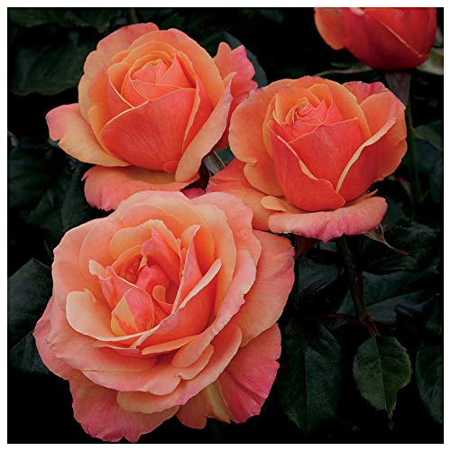 Mary Gold Flower - Anna's Promise Rose Bush - Downton Abbey Series - Fragrant Salmon Pink with Copper Overtones Flowers Grown Organic 4