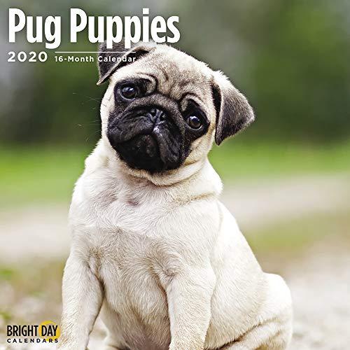2020 Pug Puppies Wall Calendar