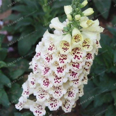 Common Foxglove Flower Bonsai Seeds%100 True Digitalis Purpurea Flower Seeds 50 Seeds - Foxglove Digitalis Purpurea