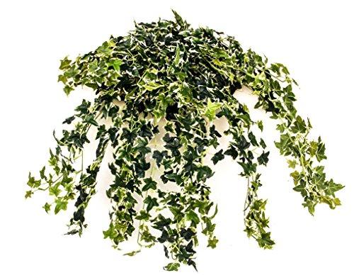 english ivy bush - 3