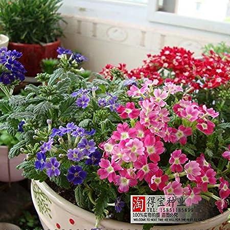 Belleza Sakura Semillas Jardín Paisaje Plantas en macetas verdes Flores fáciles de plantar Semillas aromáticas Flores herbáceas 100 Semillas: Amazon.es: Hogar