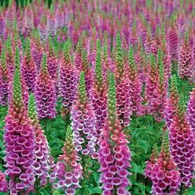 (Digitalis (Foxglove) purpurea Candy Mountain Original (Rose) 500 seeds)