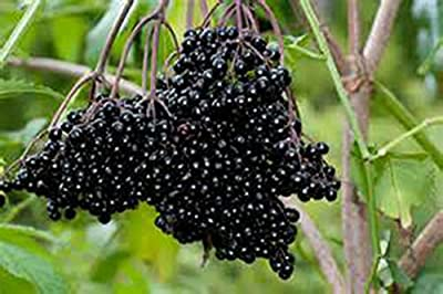Hardy Fruit Variety Pack-(4) Live plants-ELDERBERRY-Grape Concord-KIWI-Cranberry