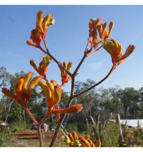 Live Kangaroo Paw (Orange) aka Anigozanthus Flav. 'Bush Tango' Plant Fit 1 Gallon Pot My Garden