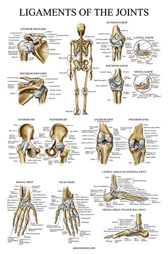 Ligaments of The Joints Anatomical Poster - Laminated - Ligament Anatomy Chart - 18 x 27