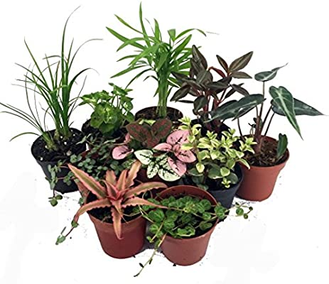 Amazon Com Terrarium Fairy Garden Plants 10 Plants In 2 Pots