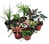Cheap Terrarium & Fairy Garden Plants – 10 Plants in 2″ pots