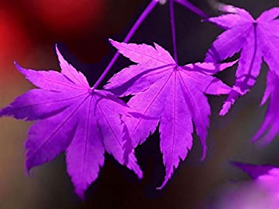 "(Purple *Ambizu*) 30+30 PCS Purple Maple Seeds Rare in the World Canada Is a Beautiful Purple Maple Bonsai Plants Trees ""Purple Ghost"""