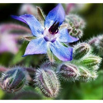 Lumos80 Heirloom Garden Seeds Borage Non-GMO Herb & Beautiful Bloom : Garden & Outdoor