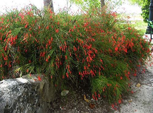 Sandys Nursery Online Firecracker Russelia equisetiformis Gallon -