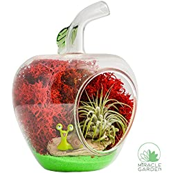 DIY Terrarium Kit - Apple | Glass Apple with Air Plant Tillandsia, Moss, Sand, Driftwood, Figurine | Live, Natural Desktop Garden Décor | Miracle Garden