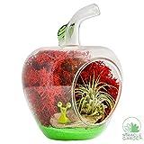 kitchen nano garden - DIY Terrarium Kit - Apple | Glass Apple with Air Plant Tillandsia, Moss, Sand, Driftwood, Figurine | Live, Natural Desktop Garden Décor | Miracle Garden