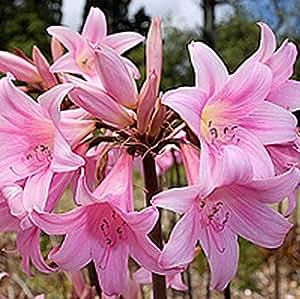 Amaryllis belladonna naked ladies 3 large for Bulbes amaryllis belladonna