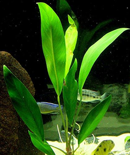 25 vivir Acuario Plantas/9 diferentes tipos - Amazon espadas, Anubias java, Fern, Limnophila y mucho más. Gran planta Sampler para 10 - 15 Gal. mini-tanks.