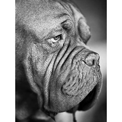 Dog French Mastiff Head Muzzle Black White Photo Extra Large XL Wall Art Poster Print