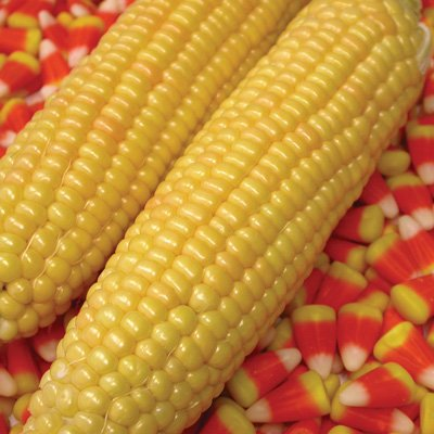 """Kandy Corn"" Hybrid Vegetable Corn Seeds, 25+ Premium Heirloom Seeds, Incredible Flavor, Hot Price! (Isla's Garden Seeds), Non GMO Seeds, 85% Germination, Highest Quality Seeds, 100% Pure : Garden & Outdoor"