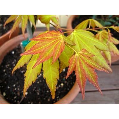 Orange Dream Japanese Maple - Acer palmatum 'Orange Dream' - Stunning Orange and Red New Spring Growth on a Dwarf Japanese Maple - 2 Year Tree : Garden & Outdoor