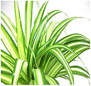 TOP Plant Cuttings - Clean Air Plants for Your Home, Variegated Spider, Variegated Peperomia Cuttings - By MySeeds.Co (V. Spider x 10)