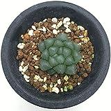 多肉植物:ハオルチア オブツーサ*3.5cm