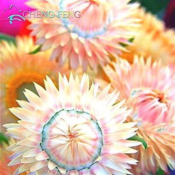 50 PC Semillas crisantemo del arco iris de colores de la flor rara planta de flor Siempreviva jardín de DIY fácil crecen mejor regalo para la madre: Amazon.es: Jardín