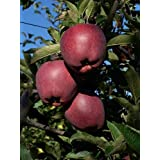 9GreenBoxs: Native Apple Tree 20 Seeds - Be Johnny Appleseed -Malus