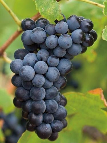 Wine Blackberry Make (Cabernet Sauvignon NC 04 Wine Grape Vine - Plantable Year-Round!)