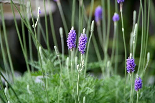 1 Plant Of Lavandula Canariensis Canary Island Lavender Garden Outdoor