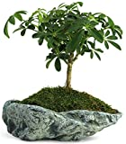 Natural Elements Rock Planter (Basin) – Realistic woodland-themed with intricate stone detail + Fiber Soil + moss mulch. Grow succulents, cactus, African Violets and bonsai. Striking in any décor.