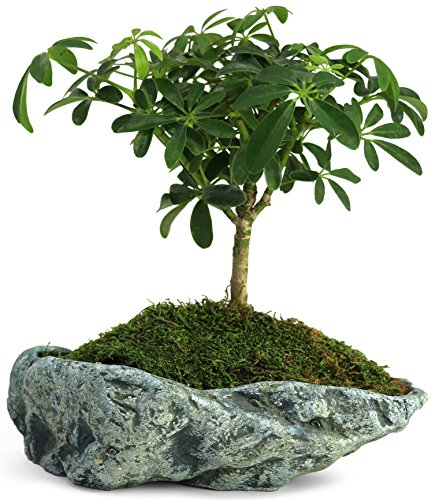 Natural Elements Rock Planter (Basin) – Realistic Woodland-Themed with Intricate Stone Detail + Fiber Soil + Moss Mulch. Grow Succulents, Cactus, African Violets and Bonsai. Striking in Any ()
