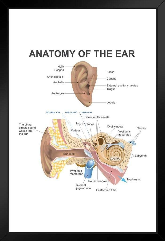 Anatomy of The Human Ear Diagram Chart Laminated Dry Erase Sign Poster 24x36