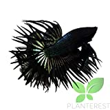 Live Aquarium Betta Fish Male Black Orchid Crowntail Ready to Add in Plants Tank